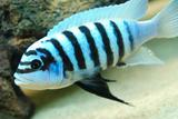 Редкий вид Metraclima zebra Maison reef