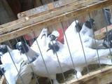 Голуби (головатые, щекатые)