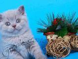 Чистокровные британские котята из питомника